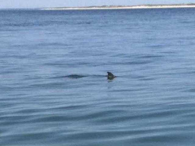 Chatham town officials were warning swimmers to steer clear of seals, a favorite food for great whites.