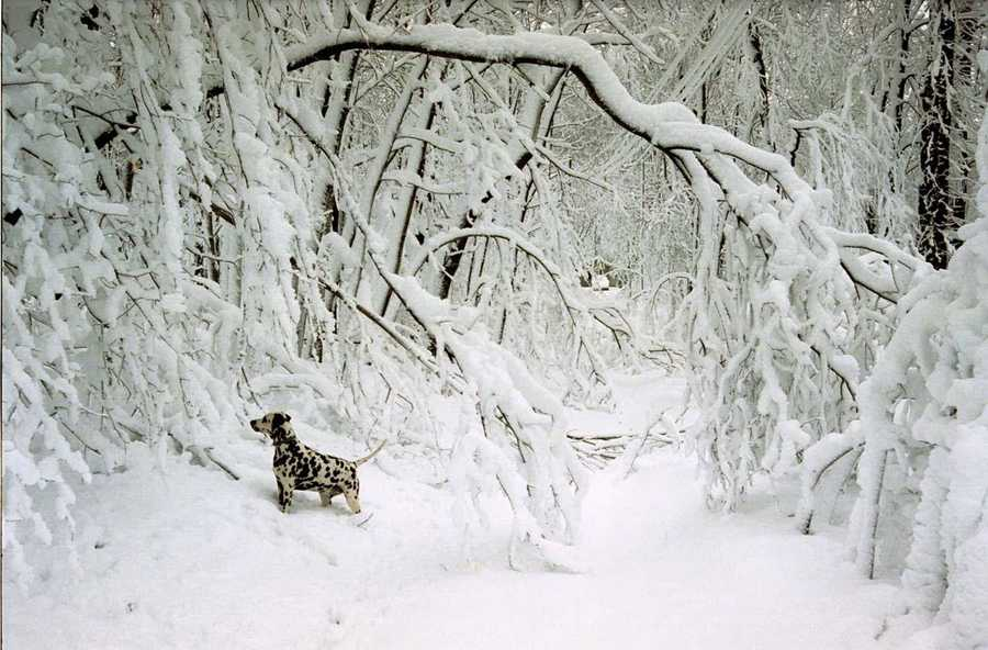 A Dalmatian stands in contrast with the snow that fell on East Granby, Conn.
