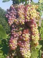 9.) Grapes vs. Raisins