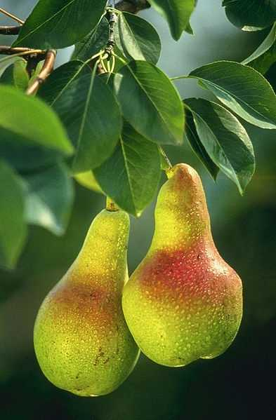 8.) Pears and Apples