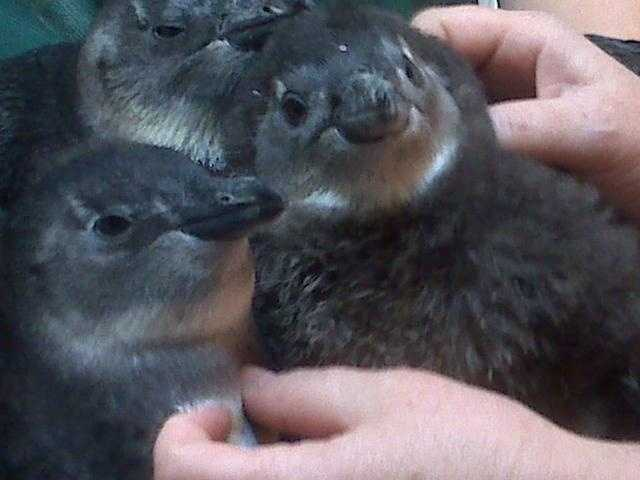 The New England Aquarium introduces a group of African penguin chicks in August 2010.