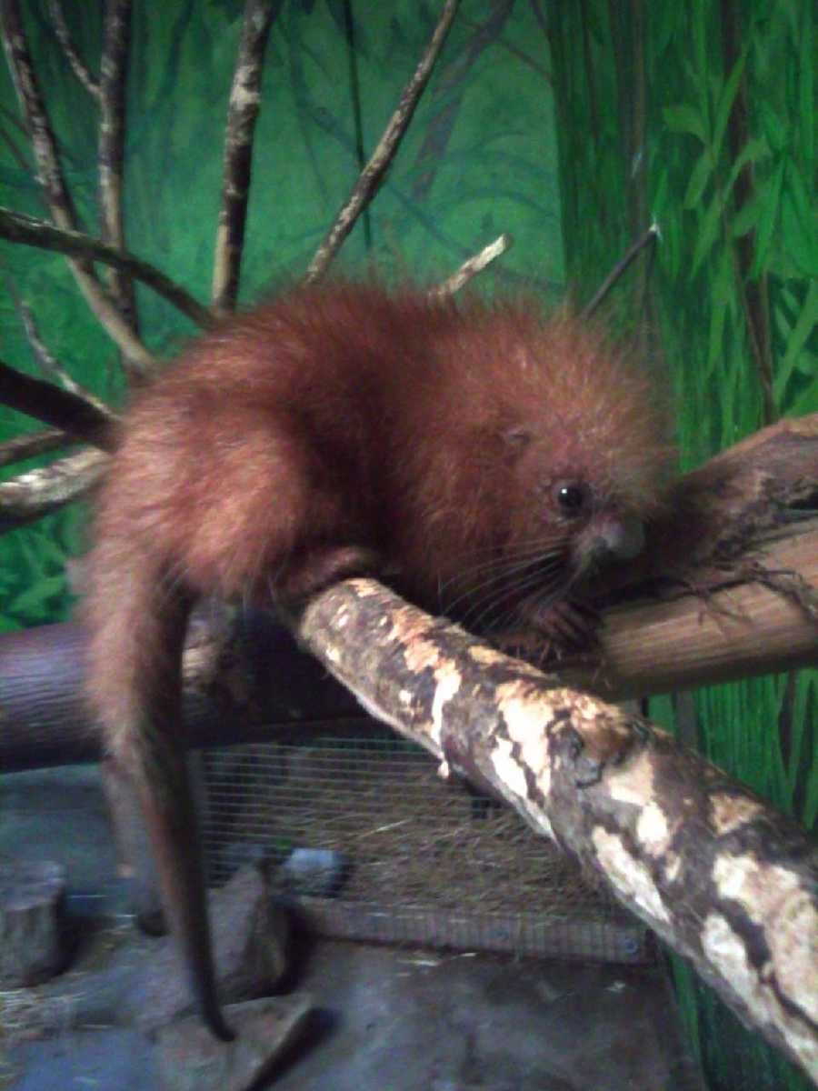 On Sept. 6, the Stone Zoo welcomed a prehensile-tailed porcupine.