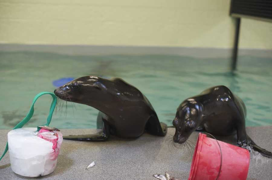 Sea lions pups, Zoe and Cierra, check out a fish-icle, which is a bucket of ice filled with fish. Just like human children, sea lion pups love toys.