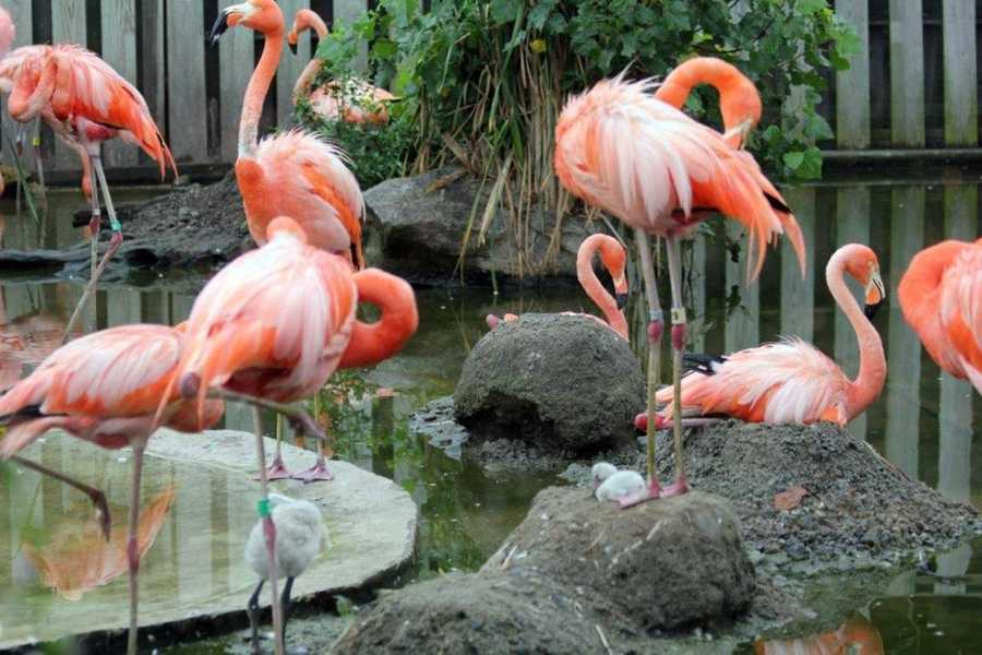 The Stone Zoo welcomed 4 new Caribbean flamingo chicks in July 2011.