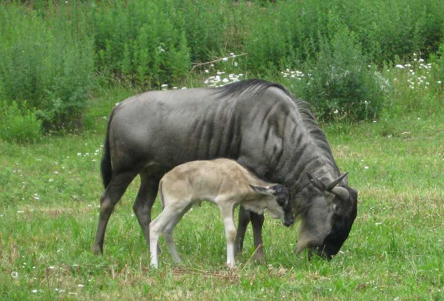 A wildebeest calf was born at the Franklin Park Zoo on June 20, 2011.