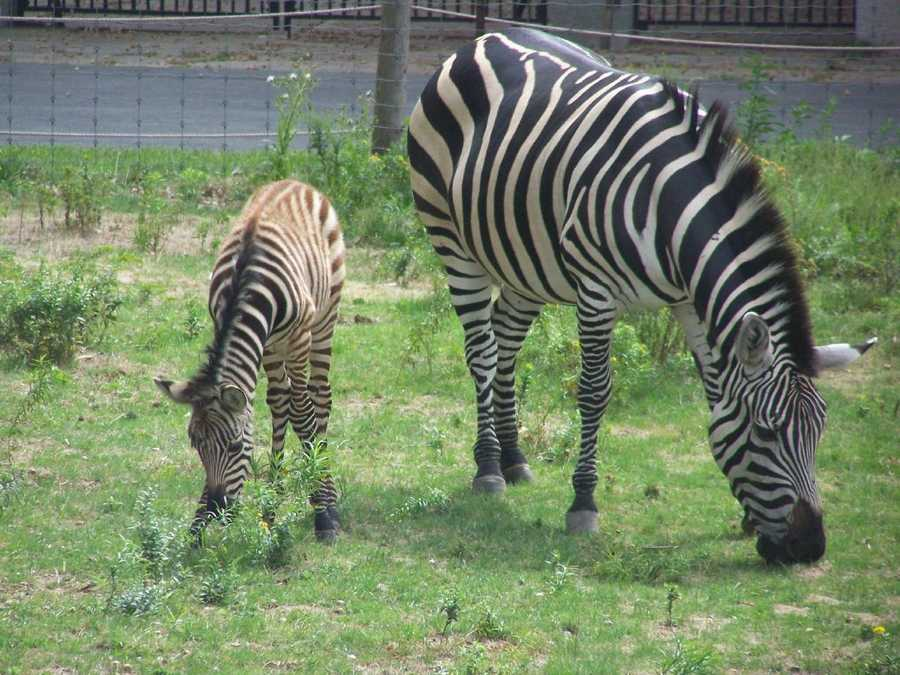 The Franklin Park Zoo welcomed a baby zebra on Sept. 6, 2010
