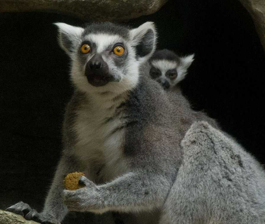 Nebuchadrezzer (Nebbie), a ring-tailed lemur, gave birth on March 19, 2012 inside the zoo's Tropical Forest.