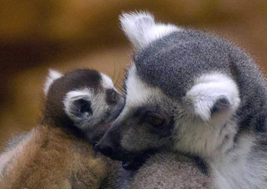 Franklin Park Zoo has an active group of eight lemurs in its animal collection, including the new baby.