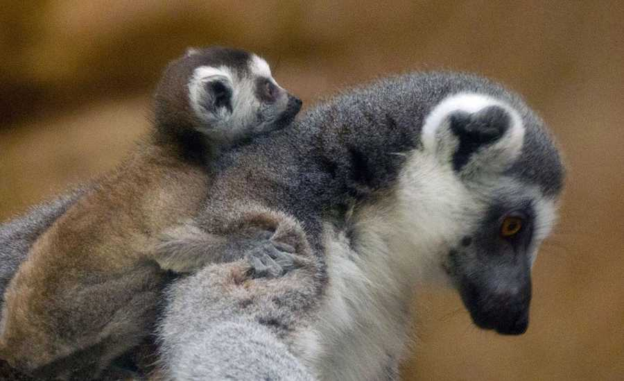 Ring-tailed lemurs are listed as a vulnerable species in their native Madagascar.