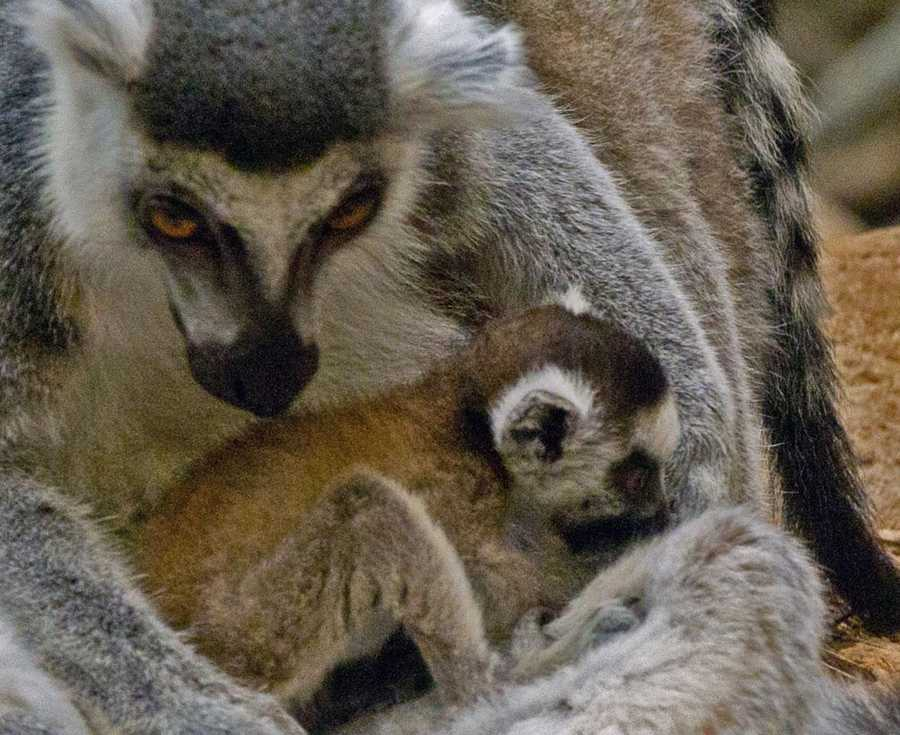 Habitat destruction is the biggest threat to the survival of all lemur species.Ring-tailed lemurs are listed as a vulnerable species in their native Madagascar.