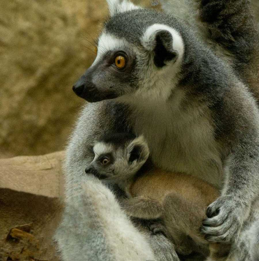 Lemurs are noted for their wide-round eyes and their white and black, long banded tails.