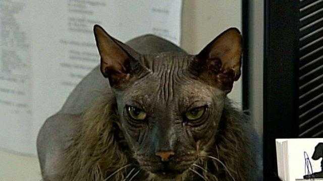 ugly cat lying - 18813895