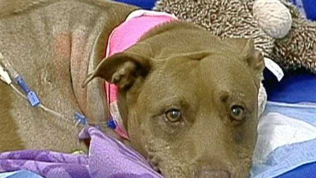 A pit bull named Lilly is being hailed a hero after she pulled her unconscious owner from the path of a freight train last week.