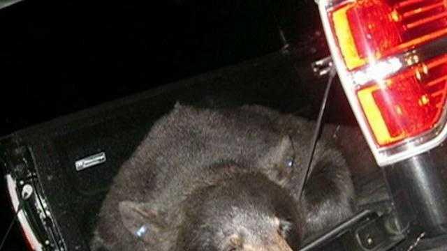 Cape Cod bear captured