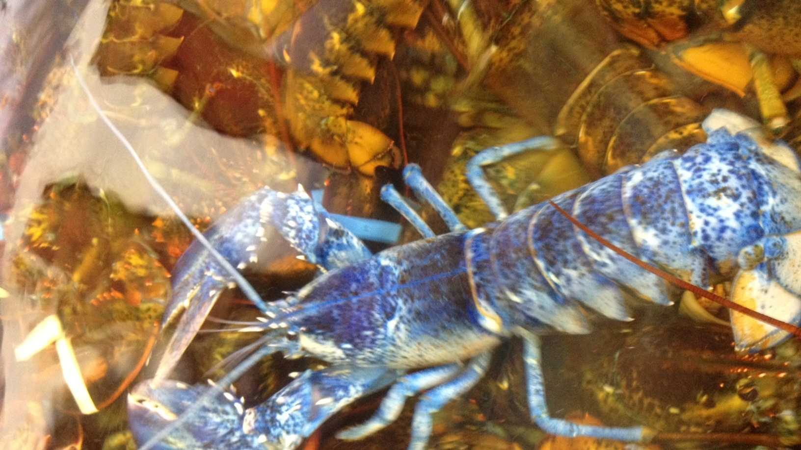 Rare blue lobster found off Rockport.