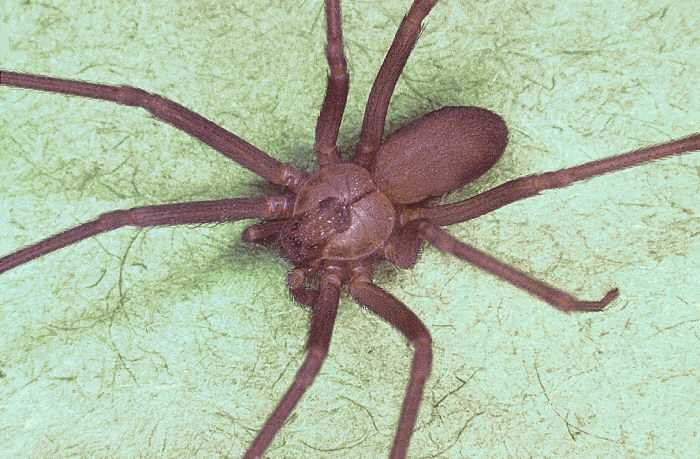 Brown recluse spiderThis small spider, which is primarily found in the lower Midwest and South, packs a wallop with its bite.
