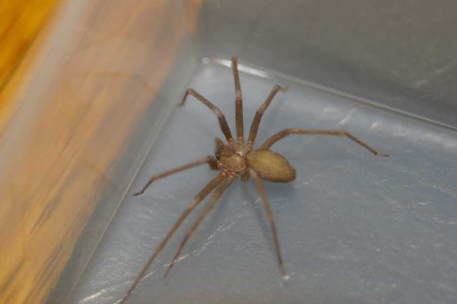 Its venom can create skin necrosis, a serious condition where healthy skin rapidly dies off. However, the brown recluse is also painfully shy and is also reluctant to bite.