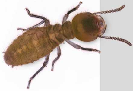 The Formosan is also called the Super Termite by pest control pros, primarily because a mature colony can eat more than 13 ounces of wood per day.