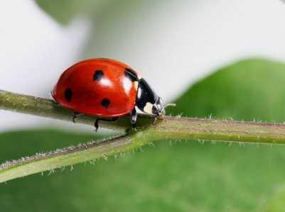 LadybugsIt's hard to picture one of these gentle, orange little bugs as an exotic pest, but they can be.