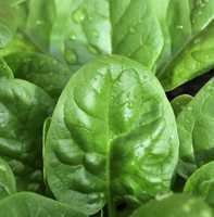 Spinach-based salads are more dense in nutrients than salads made with greens that have higher water content, like iceberg lettuce.