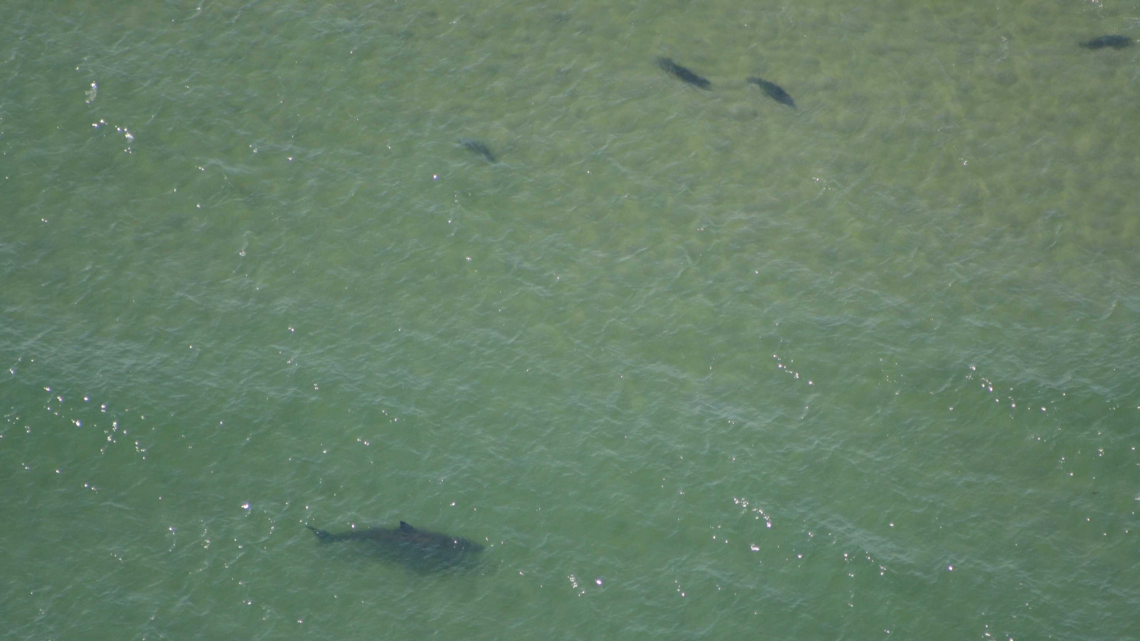The shark spotted Saturday may be the same great white spotted off Chatham earlier in the week.