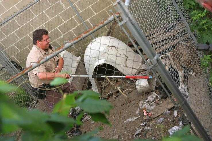 Darren Hand, of Brockton Animal Control, works to catch the last of four pit bulls.