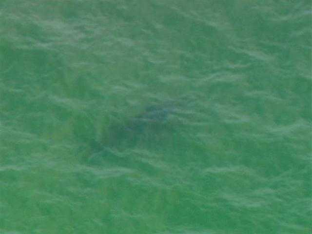 Tagging the animals allows marine biologists to track the great white sharks' movement and behavior.
