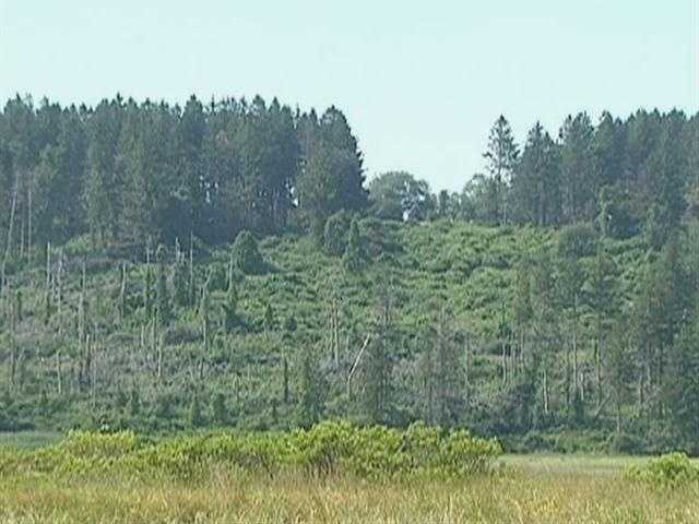 Cornelius Crane planted thousands of spruce trees, on the great hill.