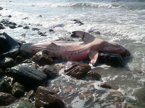 A dead great white shark washed up on the shore in Westport Saturday morning.