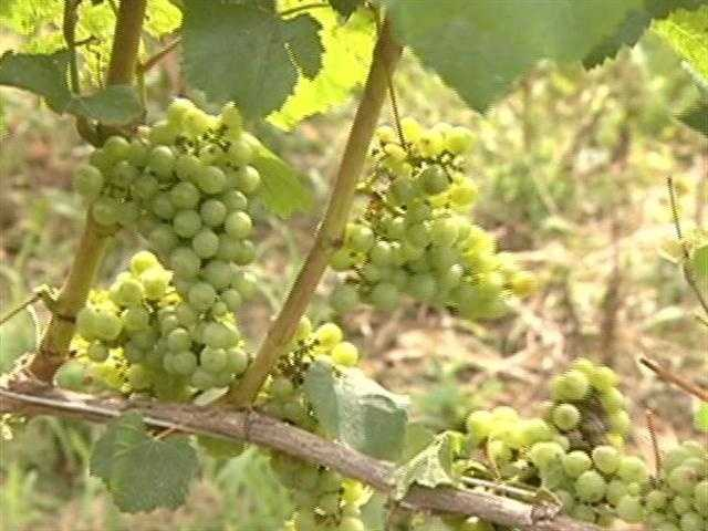 For over 25 years, Bill Russell's family has been growing grapes...