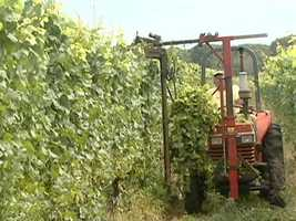 Much of the vineyard's success has to do with the Farm Coast oceanside climate.