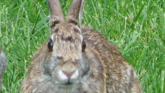 bunny rabbit in grass