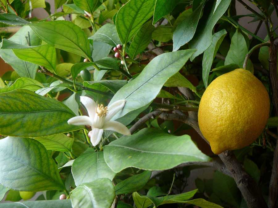 18.) Lemons and limes