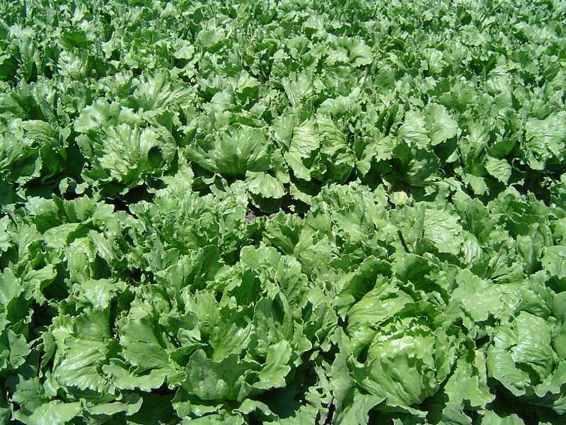 7.) Lettuce