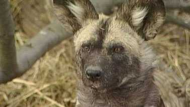 AnAfrican painted dog.