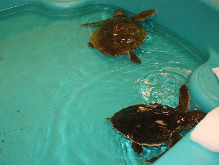 The first two hypothermic sea turtles of the season have arrived at the New England Aquarium's Animal Care Center in Quincy.