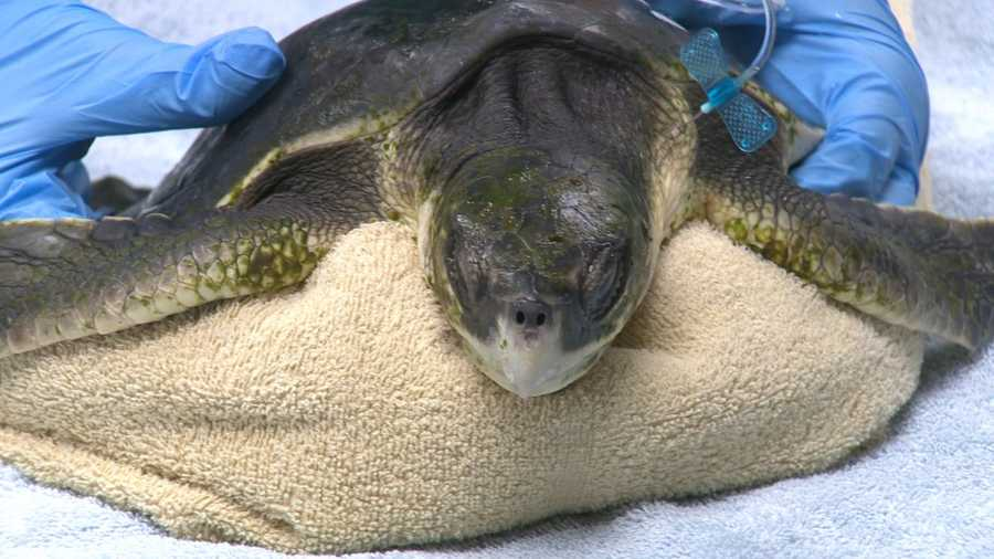 More turtles are expected following Thursday's Nor'easter.