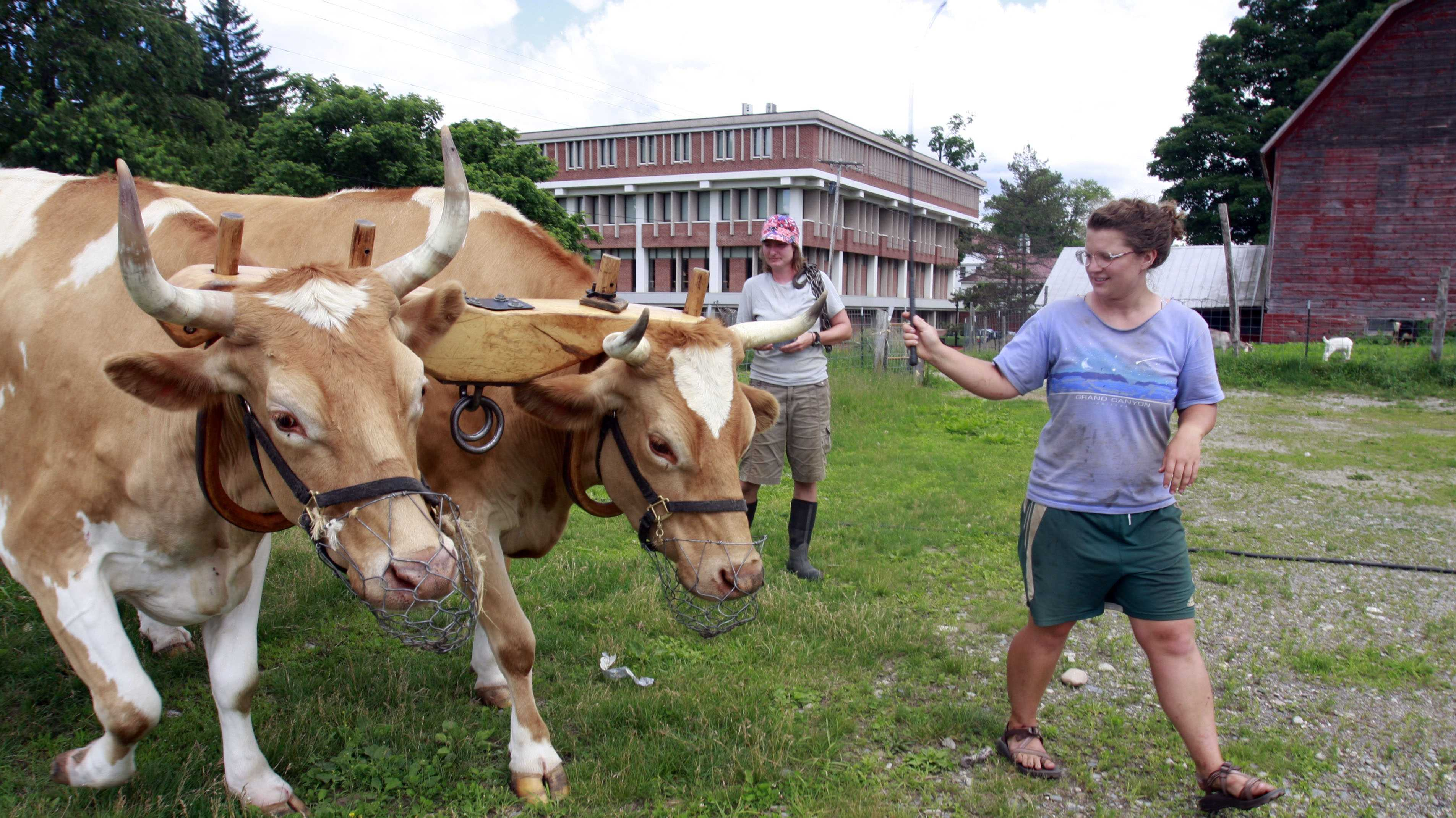 In this June 24, 2009 file photo, student worker Anastasia Gazynski, right, a Green Mountain College senior, leads oxen Bill and Lou, as production manager Lisa Veniscofsky, center, looks on while heading out to work in the field on the Green Mountain College campus farm in Poultney, Vt. The days are numbered for the two oxen that have worked the fields at Vermont's Green Mountain College farm for more than a decade. The Poultney college says the oxen are being retired because of injury and will be processed into beef products to be served in the college dining hall.