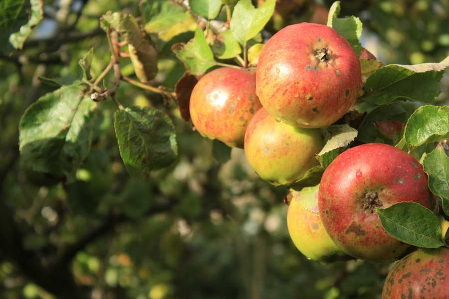 """There may be something to the old adage, """"an apple a day keeps the doctor away."""""""