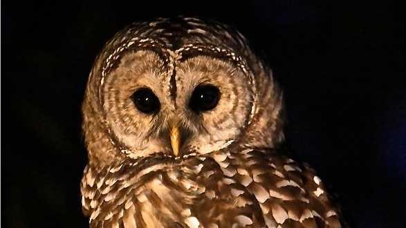 Barred Owl Boston Common 1