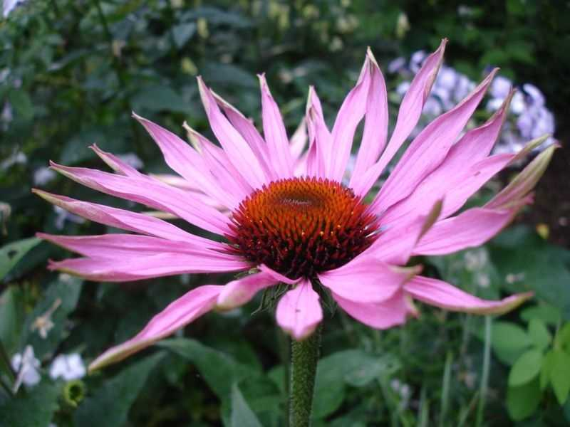 A fourth group was given Echinacea and was told it was Echinacea.