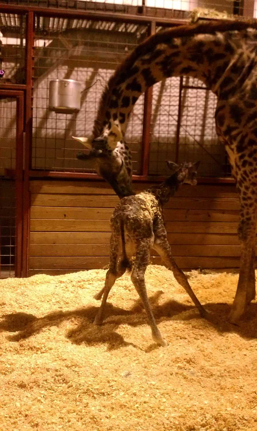 A look at the  baby giraffe taking his first steps.