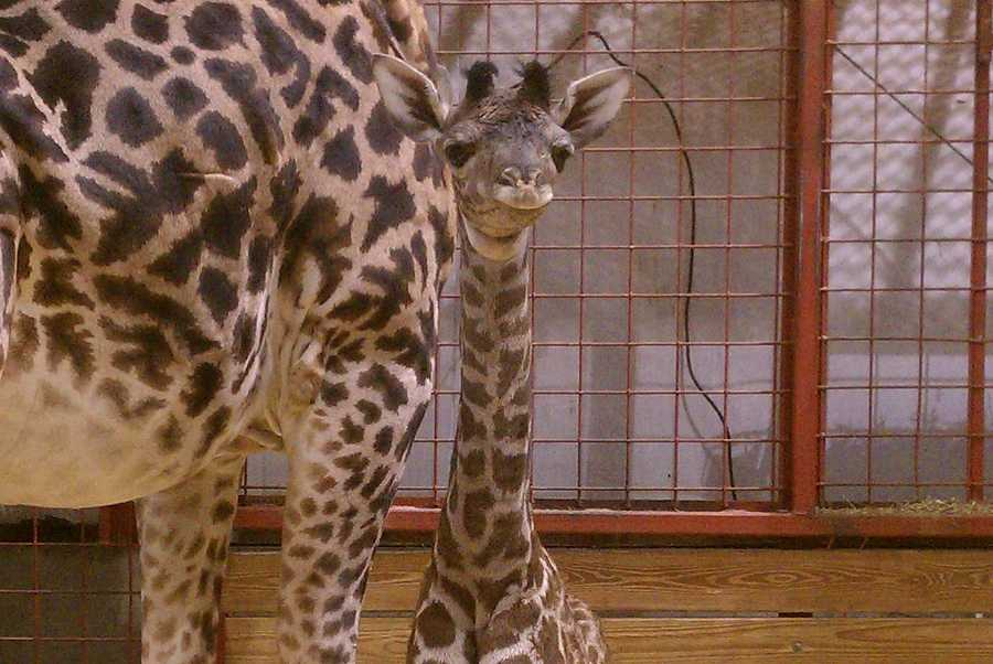 The staff at Franklin Park Zoo is celebrating the recent birth of a female giraffe calf.
