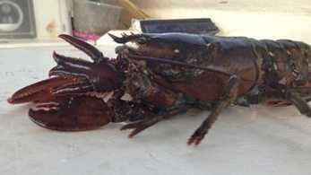 4 clawed lobster