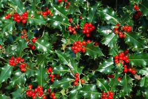 And if your pet does ingest some of these forbidden items, don't worry — most cases of poisoning from holiday plants are not fatal.