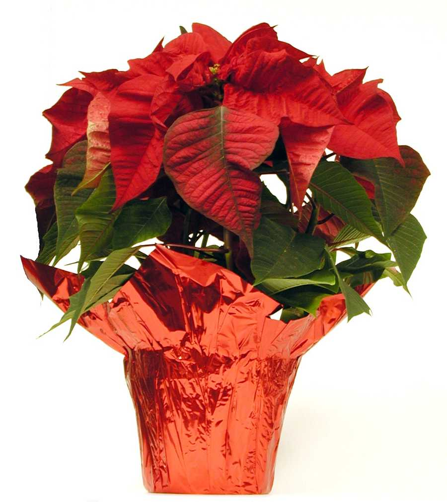 Pine needles, holly, mistletoe, and even poinsettias can all be toxic to pets.
