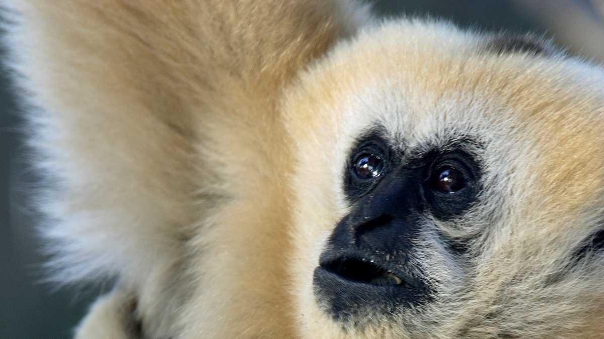 gloria the gibbon