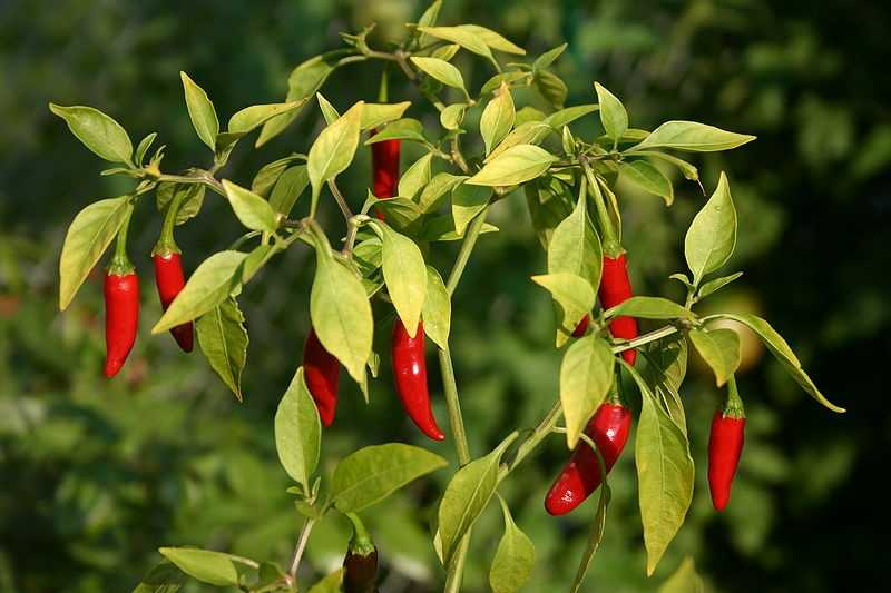 Chili peppers and red pepper flakes lower blood sugar and start to starve fat.