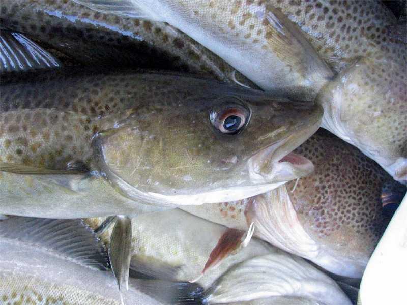 3.) White Fish