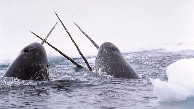 Narwhal Whales
